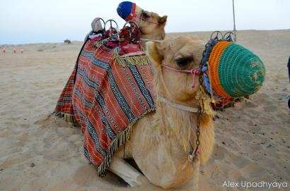 Camel friends!