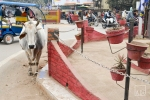 Varanasi Street Cows